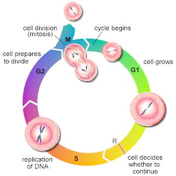 an analysis of the stages of metabolism and mitosis in the life process of a cell Study cell division and learn mitosis and meiosis with what are the main events of the last stage of mitosis meiosis is the cell division process.
