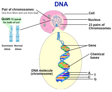 a summary of dna Read chapter summary: matching dna samples from crime scenes and suspects is rapidly becoming a key source of evidence for use in our justice system dna .