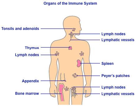 Organs immune system